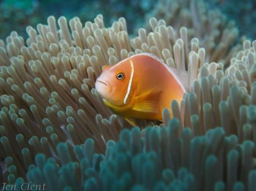 Anemome Fiji - Fiji 1