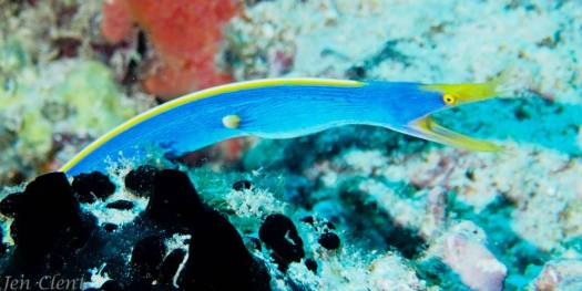 Blue Ribbon Eel - Fiji
