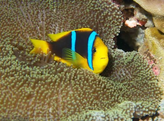 Fiji - Anenome Fish