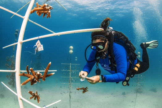 CRF Restoration Program Manager Jessica Levy Works on Hanging New Corals on in the CRF Nursery