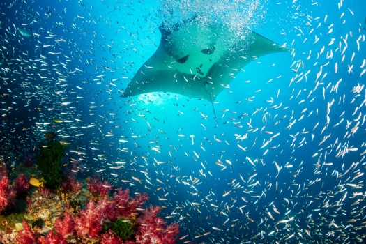healthy-coral-reef-manta-ray